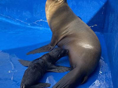 Photo - A new Californian sea lion is born in Marineland Mallorca